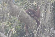 Selain Manusia, Orangutan juga Terkena ISPA Gara-gara Karhutla