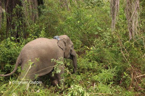 Minimalisasi Konflik dengan Manusia, Gajah Liar Dipasangi GPS
