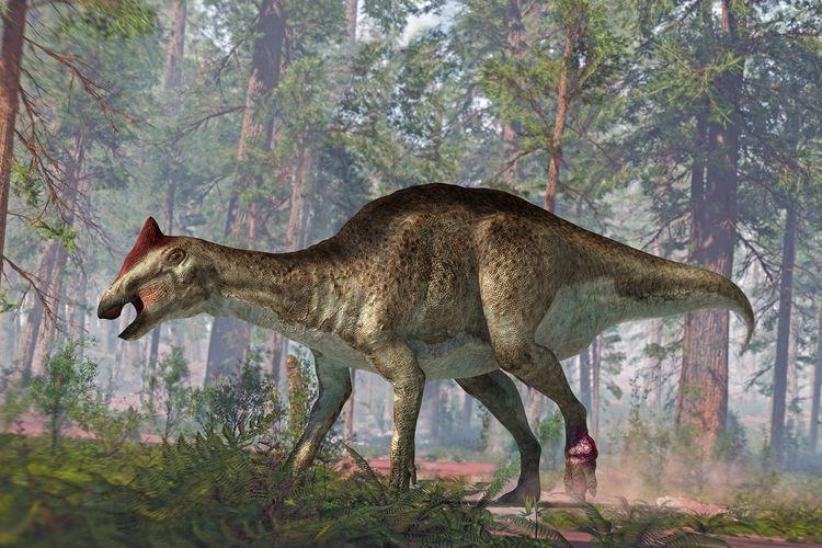 Ilustrasi dinosaurus berparuh bebek dari spesies Hadrosaurus. Analisis baru dari fosil dinosaurus ini menunjukkan tumor di kaki seperti bunga kol dan cedera parah, dengan tulang ekor yang patah.