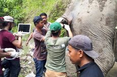 Setelah Diobati, Induk Gajah Ini Dipasangi