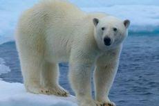 Bagaimana Beruang Kutub Beradaptasi pada Suhu Dingin?