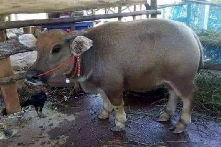 Hoaks hewan perpaduan babi dan sapi