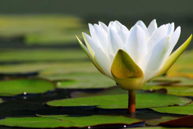 Ilustrasi bunga teratai putih.