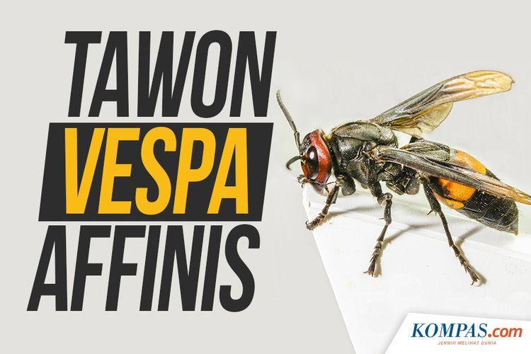 Tawon Vespa Affinis