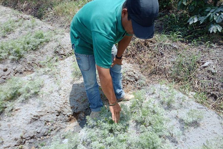 Akibat dari erupsi Gunung Sinabung di Kabupaten Karo, Sumatera Utara, pada Selasa (7/5/2019) kemarin, ada empat kecamatan yang terkena dampak sebaran abu vulkanik, yaitu Kecamatan Namanteran, Simpangempat, Berastagi, dan Kabanjahe. Sebagian besar petani di empat kecamatan tersebut harus segera mungkin membersihan dampak abu vulkanik agar tanaman mereka tidak mengalami gagal panen, Sabtu (11/5/2019).