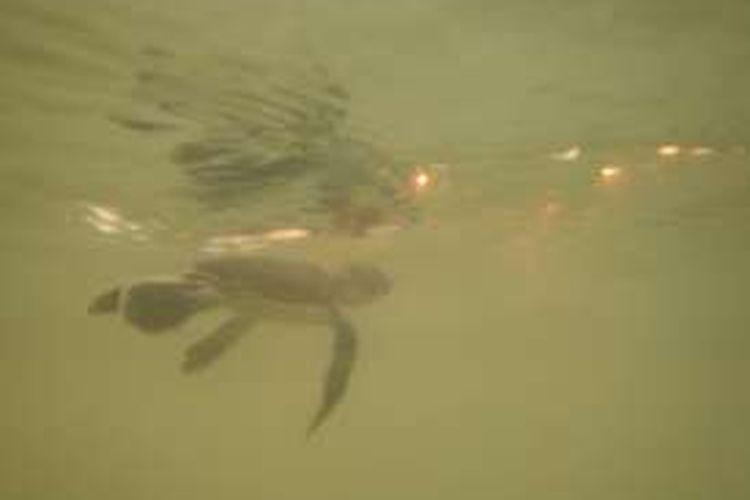 Tukik atau anak penyu hijau di perairan pesisir pantai Paloh di Dusun Ciremai, Desa Sebubus, Kecamatan Paloh, Kabupaten Sambas, Kalimantan Barat, Kamis (18/8/2016).