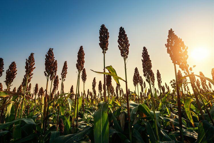 Ilustrasi tanaman sorgum yang bentuknya seperti jagung.