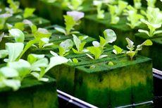 3 Sayuran Hidroponik yang Bisa Cepat Dipanen, Apa Saja?