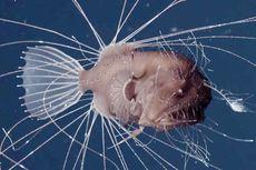 Kamasutra Satwa: Anglerfish Jantan Gigit Tubuh Betina, Jadi Parasit untuk Selamanya