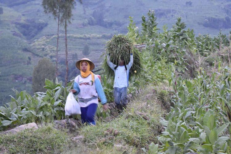 Petani tembakau di Lereng Gunung Sumbing, Desa Bansari, Kecamatan Bulu