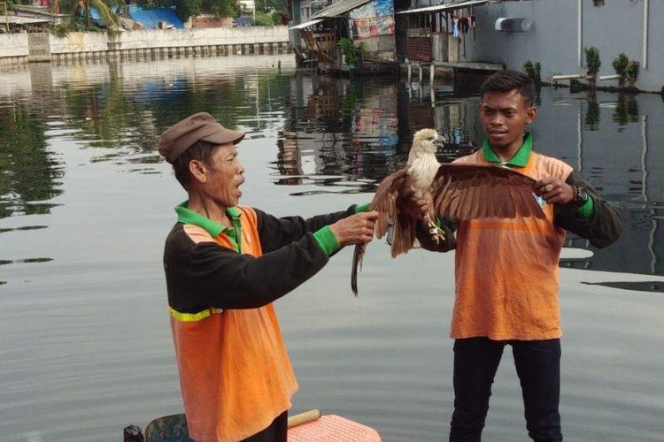 Petugas UPK Badan Air Jakarta Utara menemukan elang bondol yang jatuh di Kali Grogol, Selasa (8/1/2019)
