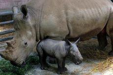 Bayi Badak Langka Lahir di Taman Safari Indonesia