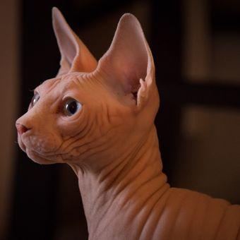 Ilustrasi kucing spinx