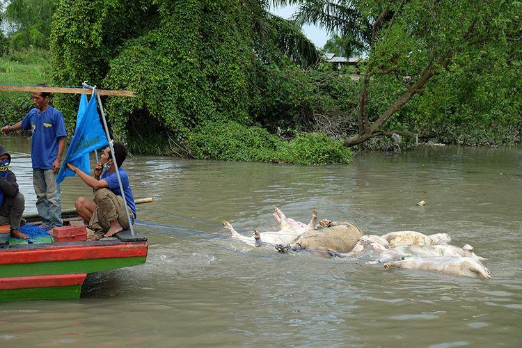Petugas gabungan menyeret bangkai babi mengunakan perahu di aliran Sungai Bederah, untuk dikubur, di Kelurahan Terjun, Medan, Sumatera Utara, Selasa (12/11/2019). Sedikitnya 5.800 ekor babi mati diduga akibat wabah virus Hog Kolera dan African Swine Fever atau demam babi Afrika di 11 kabupaten/kota di Sumut.