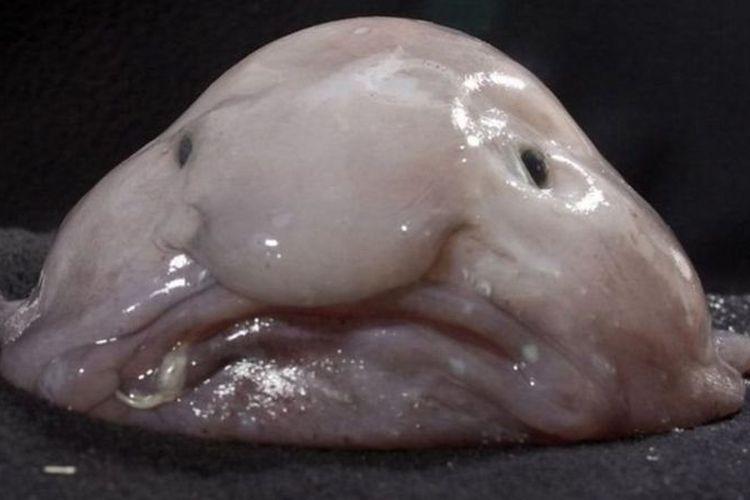 Blobfish sering dijadikan meme karena bentuknya. Namun tidak banyak yang diketahui soal ikan ini.