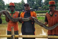 Ular Sanca 4 Meter Kagetkan Petugas UPK Badan Air di Kanal Banjir Timur