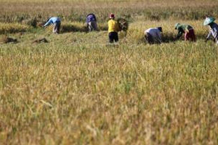 Petani memanen padinya di Kecamatan Limboto, Kabupaten Gorontalo, Sulawesi Utara, Kamis (21/8/2014). Pemerintah Gorontalo berupaya memaksimalkan harga komoditi di resi gudang dari harga jual pasaran petani termasuk gabah untuk memberikan kepastian harga jual yang tinggi bagi petani dan kecukupan pasokan. KOMPAS/Lucky Pransiska