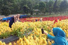 Taman Bunga Celosia, Tempat Wisata Instagramable Baru di Aceh Besar