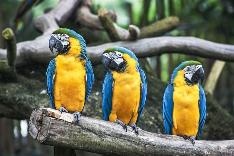 Ilustrasi burung macaw