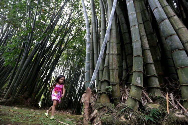 Pohon bambu raksasa (Dendrocalamus giganteus Munro) adalah salah satu tanaman koleksi Kebun Raya Bogor, Jawa Barat, Jumat (19/5/2017). Kebun botani yang digagas oleh Prof C.G.C Reinwardt seorang botanis berkebangsaan Jerman sebagai tempat penelitian ini genap berusia 200 tahun.