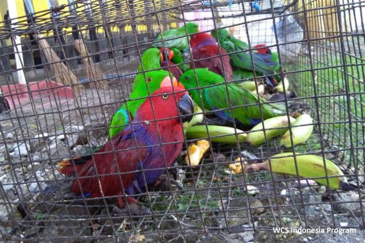 WCU Kondisi burung