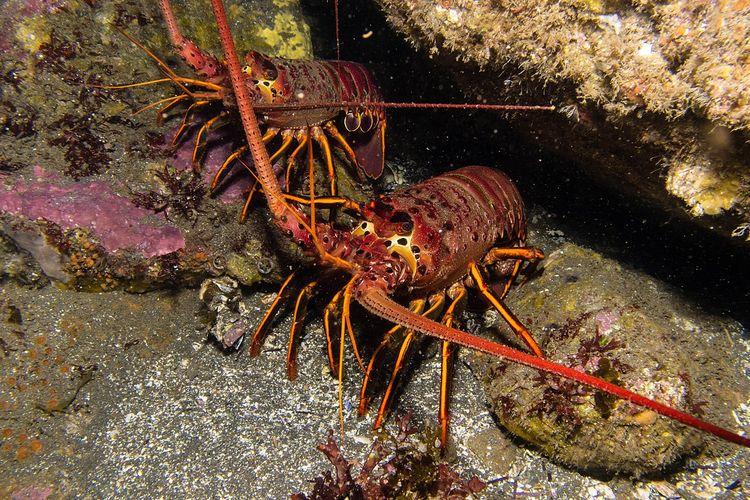 Ilustrasi lobster. Ilmuwan teliti sperma lobster untuk melihat dampak perubahan iklim pada kelangsungan hidup spesies.