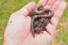 Meski Menjijikkan, Cacing Tanah Bisa Bermanfaat untuk Tubuh