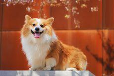 5 Alasan Mengapa Anjing Menjilat Secara Berlebihan
