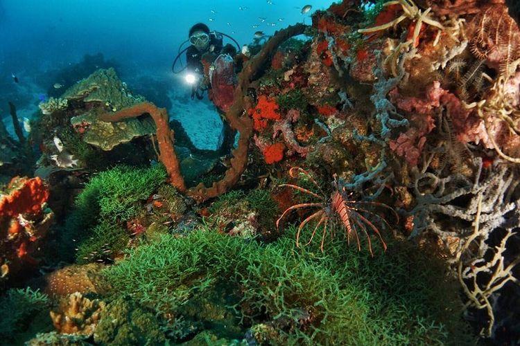 Pemandangan biota laut yang akan ditemukan pada kedalaman 15-20 meter titik selam Tandaigi, Teluk Tomini. Terdapat Red Lionfish yang dikenal sebagai ikan yang cantik namun beracun. Ikan ini merupakan salah satu Family Scopaenidae yang paling berbisa di dunia. Spesies ini hanya aktif di malam hari, sedangkan pada siang hari mereka akan bersembunyi di balik karang.