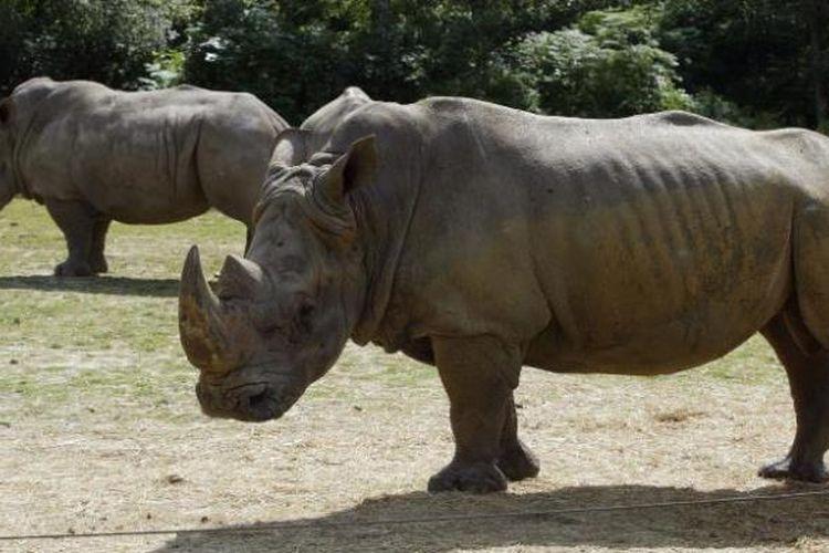 Dalam foto yang diambil pada 2002 ini memperlihatkan dua ekor badak koleksi kebun binatang Thoiry, Perancis.
