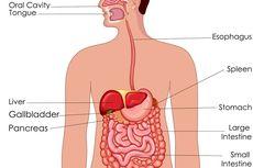 Sistem Pernapasan: Fungsi, Organ, Cara Menjaga agar Tetap Sehat