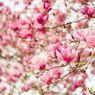 Mengenal Jenis Bunga Magnolia dan Cara Menanamnya