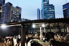 Balada Sapi-sapi Ibu Kota