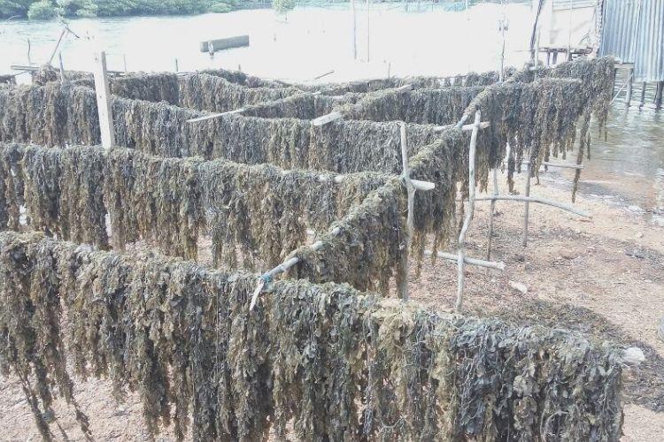 Rumput laut atau rengkam yang dijemur selanjutnya dijual ke penampungan. Saat ini nelayan Batam mulai ramai mengumpulkan rengkam karena rupiah yang didapat cukup menjanjikan.