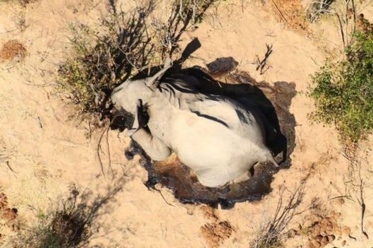 Ratusan gajah mati di Botswana, Afrika. Penyebabnya masih misterius.