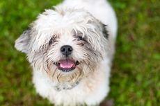 Cara Memotong Kuku Anjing yang Aman dan Nyaman