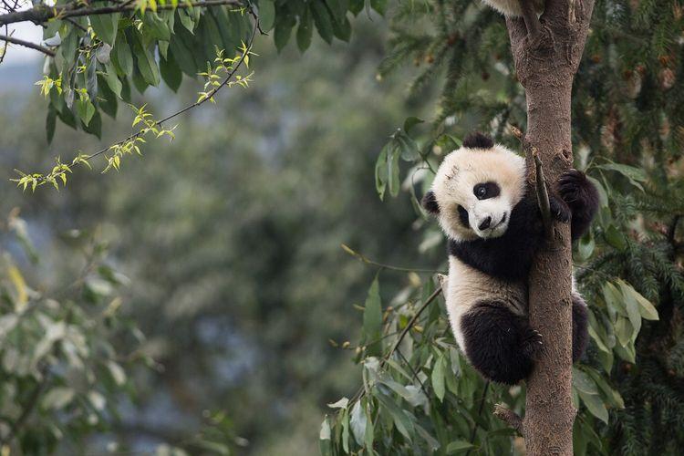 Ilustrasi Panda DOK. Shutterstock