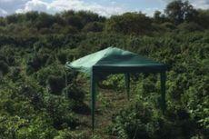 Ladang Ganja Ditemukan di Pinggiran London
