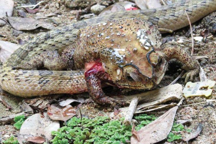 Ular membedah isi perut katak, mengeluarkan organ di dalamnya, dan memakannya. Peristiwa ini terjadi di Thailand.
