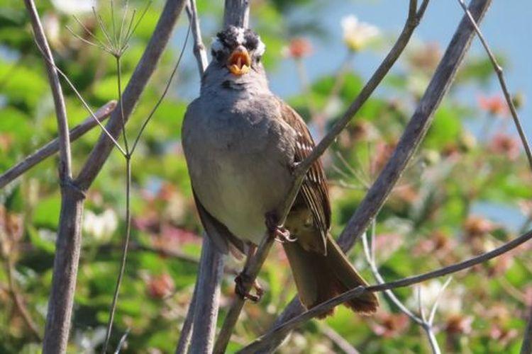 Burung pipit mahkota putih. Ilmuwan mengungkapkan dalam studi baru, selama lockdown kicauan burung ini menjadi lebih merdu.