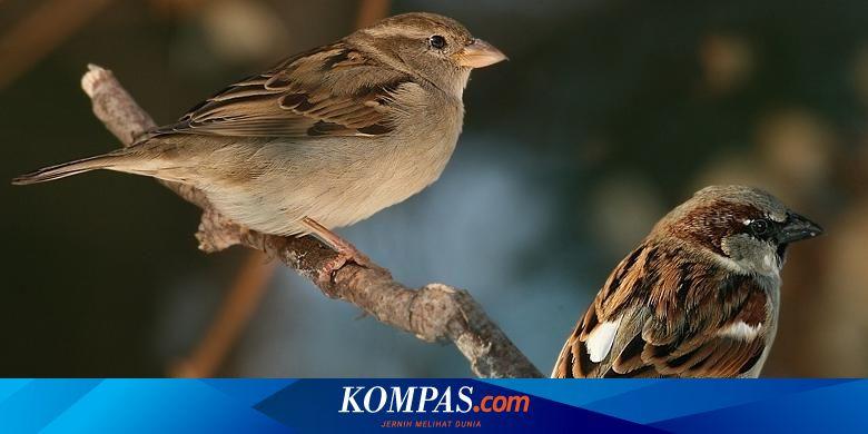Burung Pipit Laris Dibeli Jelang Imlek