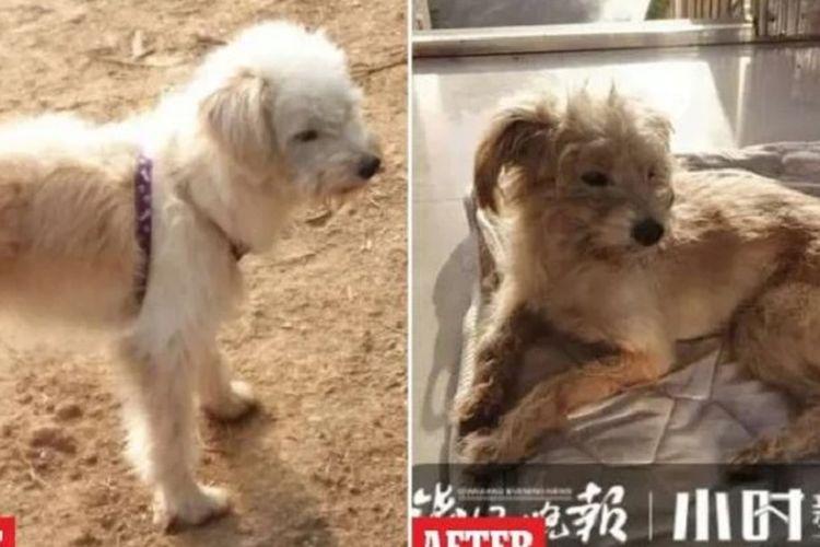 Dou Dou, seekor anjing berusia tujuh tahun di Hangzhou, China, yang menjadi viral setelah dia berjalan sejauh 60 km selama 26 hari untuk pulang ke rumah majikannya yang lupa meninggalkannya saat bepergian.