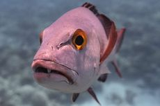 Ahli Temukan Ikan Kakap Tertua di Dunia, Berumur 81 Tahun