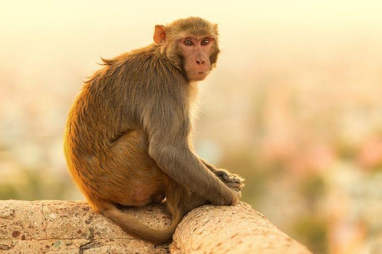 Ilustrasi monyet India.