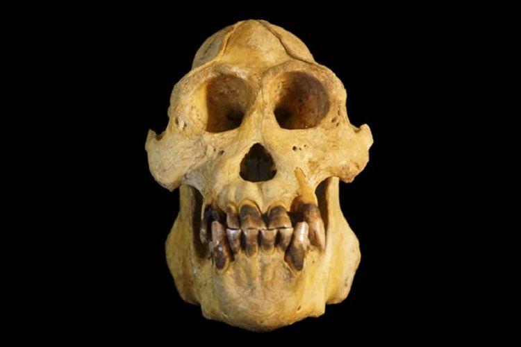 Tengkorak Pongo tapanuliensis, ukurannya lebih kecil dari dua jenis lainnya.