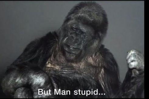 Koko, Gorila yang Pandai Bahasa Isyarat Itu Mati