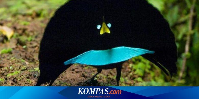 Dikira Sama Burung Cenderawasih Spesies Baru Ini Punya Banyak Pembeda