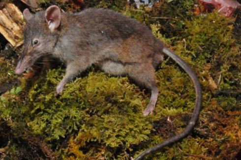 Seri Hewan Nusantara: Tikus Ompong, Satwa Endemik Sulawesi Hanya 3 Ekor di Dunia