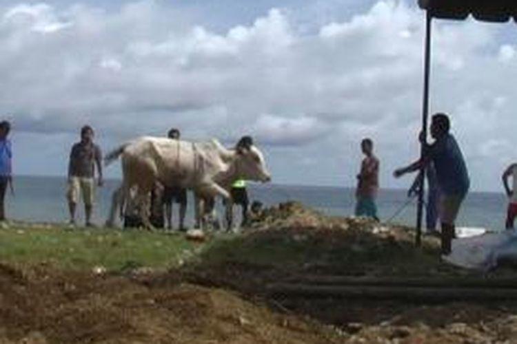 Seekor sapi mengamuk saat akan disembeli di Kota Gunungsitoli, Sumatera Utara, Selasa (15/2013).