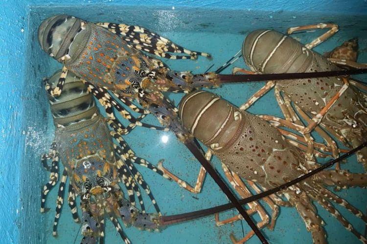 Lobster laut jenis mutiara milik Ali Murtadho yang siap dipasarkan.